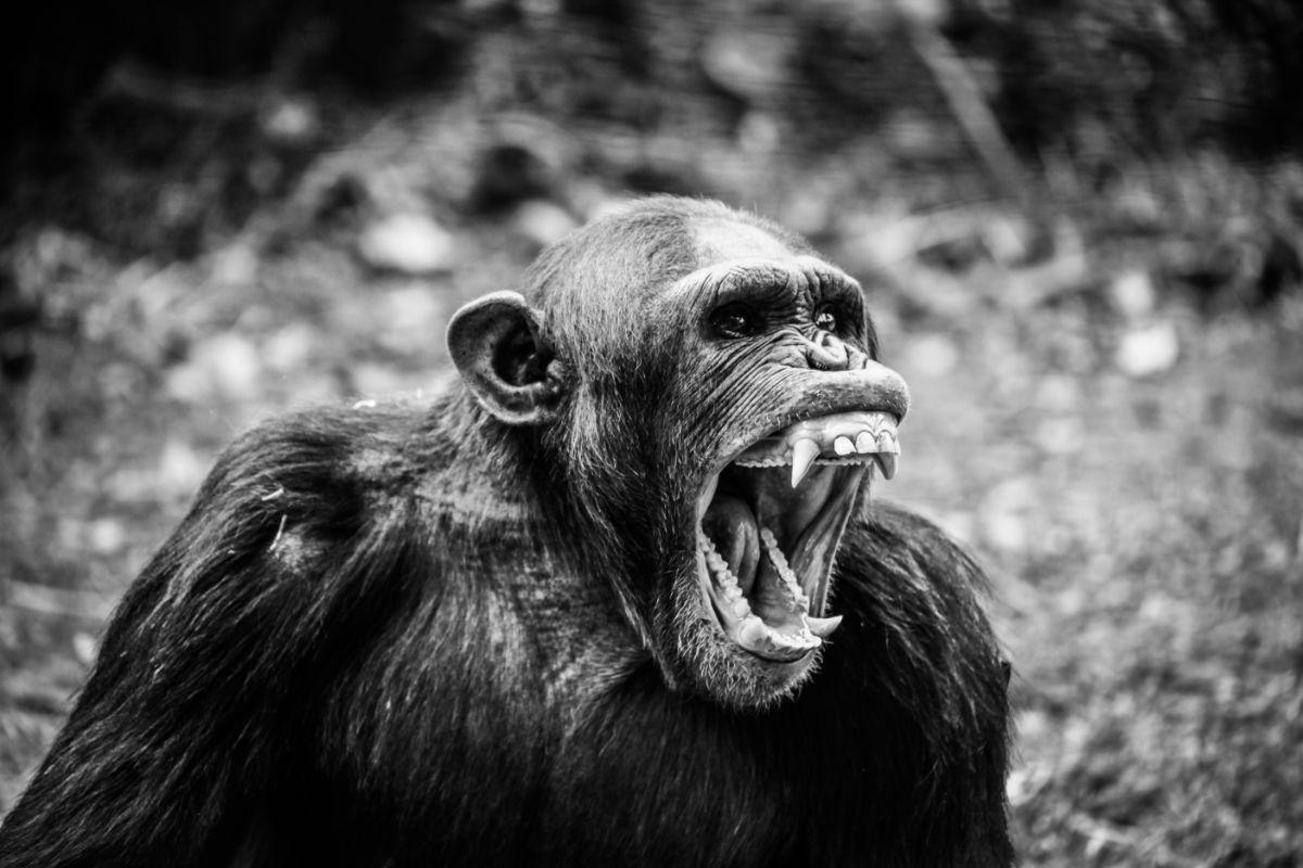 Dents d'un singe pour le protocol pour renverser les caries